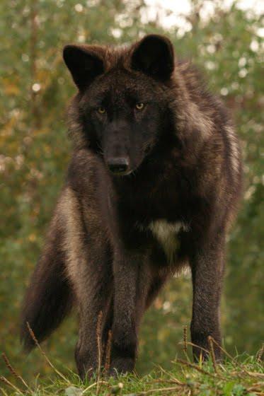 Brown black wolf brown black wolf photo2 sciox Images